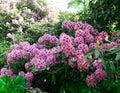 Pink azaleas bloom on the bush.