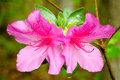 Pink azaleas blooming in spring Stock Photo