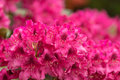 Pink azaleas blooms with small evergreen leaves red in springtime garden spring beautiful flower shallow focus Stock Photos