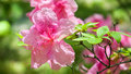 Pink azaleas flowers beautiful photo of a blooming Royalty Free Stock Photography