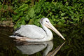 Pink Backed Pelican Royalty Free Stock Photo