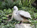 Pink-backed pelican Royalty Free Stock Photo