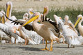 Pink-backed Pelicans at lake Nakuru. Royalty Free Stock Image