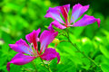 Pink bauhinia flowers ppair of with natural background Stock Photography