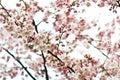 Sakura flowers blossom. Japan cherry tree in garden Royalty Free Stock Photo