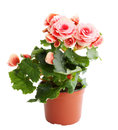 Pink begonia flower blooming in a pot Royalty Free Stock Photo