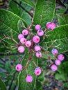 Pink Berries On A Tree In Mida...