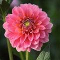Pink big flowe Royalty Free Stock Photo