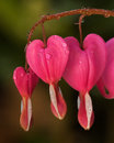 Pink bleeding heart flowers macro photo of a hearts flower in garden Stock Photos