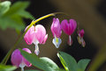Pink bleeding heart flowers sunlit macro of a plant in bloom blooms of the plant dicentra spectabilis appear in early spring Royalty Free Stock Photo
