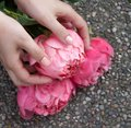 Pink bloomed peony in hands.