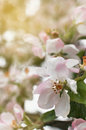 Pink blooming apple tree with water drops Royalty Free Stock Photo