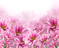 Pink blooming chrysanthemum flowers Stock Image