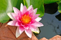 Pink blooming lotus flower Stock Image