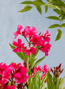 Pink blooming oleander against blue house front bush Stock Images