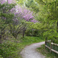 Pink blooming redbuds near woodland path Royalty Free Stock Photo
