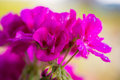 Pink bloosom of a balcony cranesbill geranium with water drops Royalty Free Stock Image