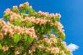 Pink blossom acacia tree brunches on bright blue sky background Royalty Free Stock Photos