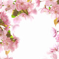 Pink blossom spring background with Royalty Free Stock Images
