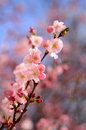 Pink blossom spring image of flower with shallow depth of focus Stock Photos