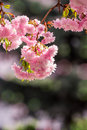 Pink blossomed sakura flowers delicate japanese cherry trees on blur background Royalty Free Stock Photos