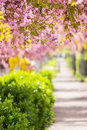 Pink blossomed sakura flowers street delicate japanese cherry trees on blur background Stock Images