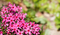 Pink blossoming plants in the spring garden Stock Images