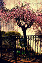 Pink Blossoming Tree Iron Fence Royalty Free Stock Photo