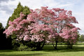 Pink Blossoms Tree Spring