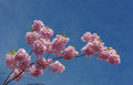 Pink and blue branches of a blossoming cherry against the sky Stock Photography