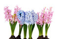 Pink and blue Hyacinths Stock Photos