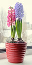 Pink, blue Hyacinthus orientalis, garden hyacinth flowers, bulbs Royalty Free Stock Photo