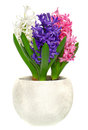 Pink blue and white hyacinth in pot fresh flowers leaves on background Stock Images