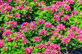 Pink bougainvillea Royalty Free Stock Photography