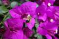 Pink bougainvillea with bee in the garden Royalty Free Stock Images
