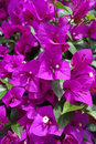 Pink bougainvillea flowers in the garden Stock Photos