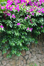 Pink bougainvillea flowers with stone wall on the Stock Image