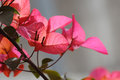 Pink bougainvillea in the garden Stock Photos