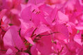 Pink bougainvillea in the garden Royalty Free Stock Images