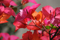 Pink bougainvillea in the garden Stock Photography