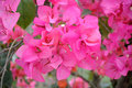 Pink bougainvillea in the garden Stock Images