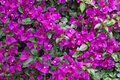Pink bougainvillea in the garden Royalty Free Stock Photography