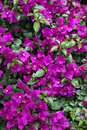 Pink bougainvillea in the garden Royalty Free Stock Image
