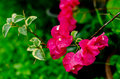 Pink bougainvillea general flowers Stock Images