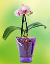 Pink branch orchid flowers with green leaves in a mauve transparent vase orchidaceae phalaenopsis known as the moth orchid Royalty Free Stock Photography
