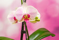 Pink branch orchid flowers with green leaves orchidaceae phalaenopsis known as the moth orchid abbreviated phal mauve background Royalty Free Stock Photo