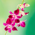 Pink branch orchid  flowers, Orchidaceae, Phalaenopsis known as the Moth Orchid, abbreviated Phal. Pink bokeh light background. Royalty Free Stock Photo