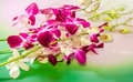 Pink branch orchid flowers orchidaceae phalaenopsis known as the moth orchid abbreviated phal to green degrade background Stock Images