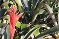 stock image of  Pink Bromeliad Aechmea in Bloom on Left
