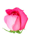 Pink bud-flower of rose Royalty Free Stock Images